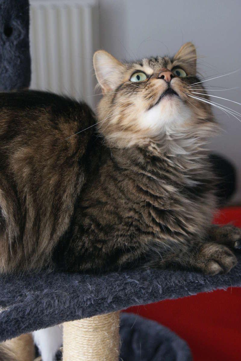 Léo, mâle européen tigré à poils longs, né le 15/05/15 31_03_12
