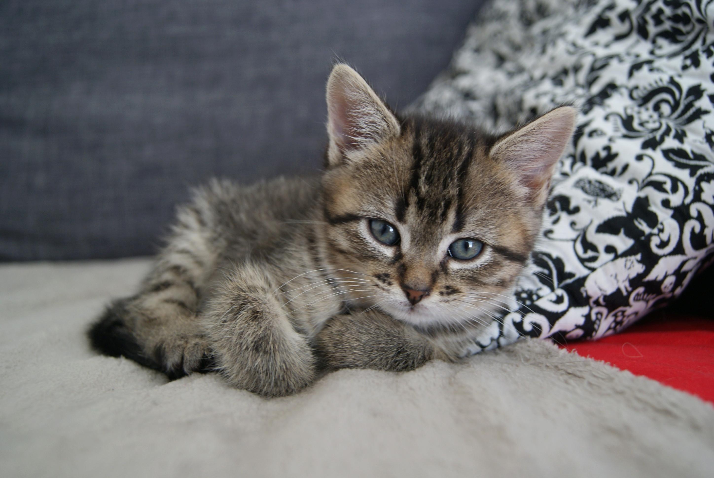 Oya, femelle type européenne tigrée, née le 5 avril 2018 Dsc00021