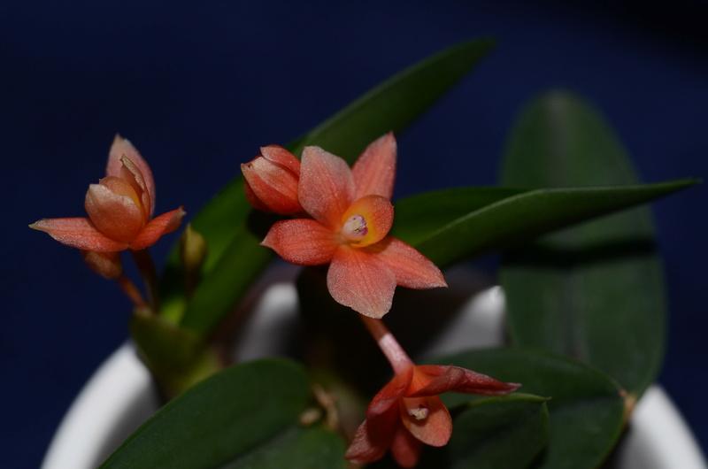 Orchideen-Neuzugang - Seite 39 Dsc_9610