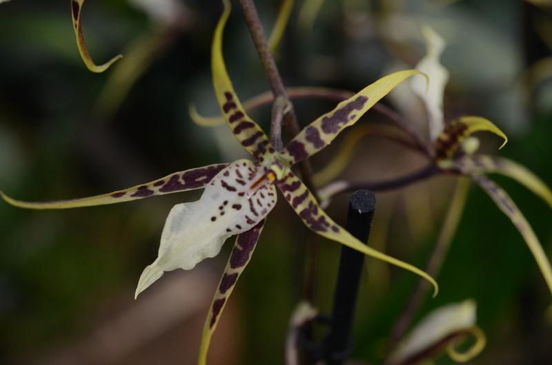 Orchideenausstellung in Bern Dsc_9911