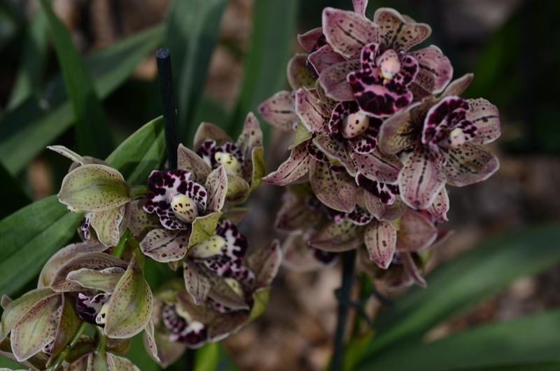 Orchideenausstellung in Bern Dsc_9912