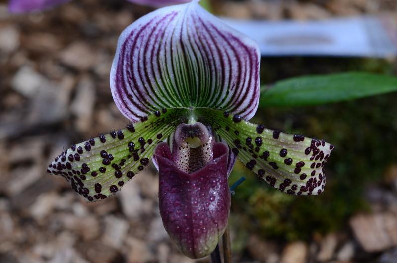 Orchideenausstellung in Bern Dsc_9913