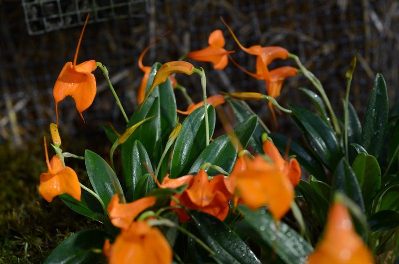 Orchideenausstellung in Bern Dsc_9915