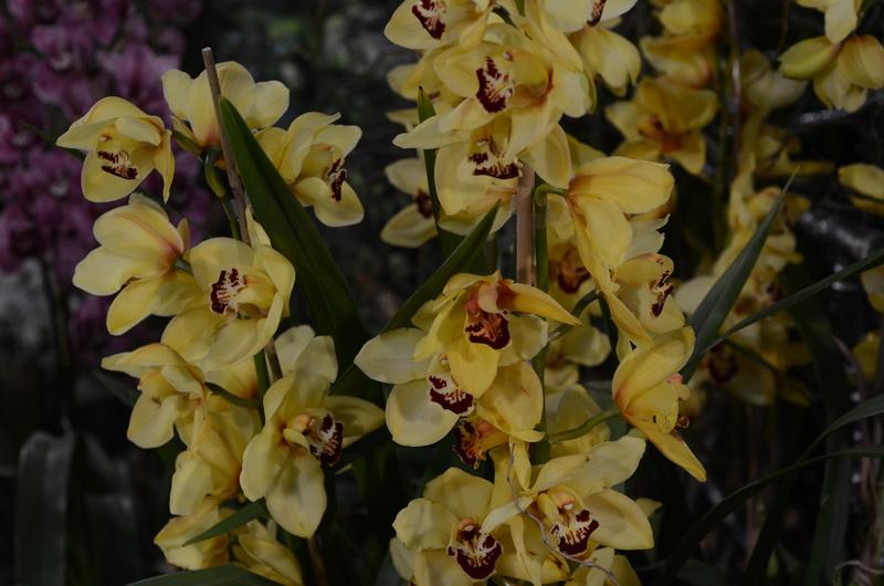 Orchideenausstellung in Bern Dsc_9916
