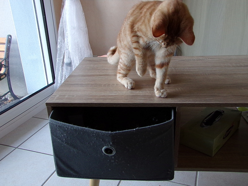 Nino , chaton roux Tabby et blanc, Né le 26/02/2017 100_1310