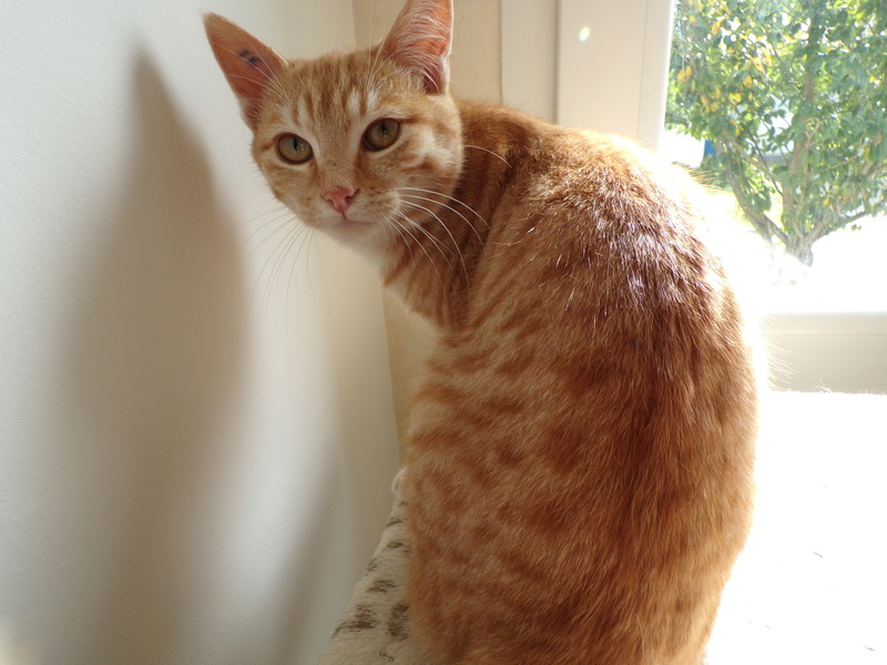 Nino , chaton roux Tabby et blanc, Né le 26/02/2017 100_1311
