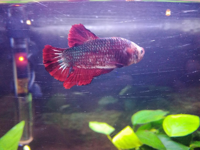 Betta Splendens - Bac 30 litres - Page 2 23314310
