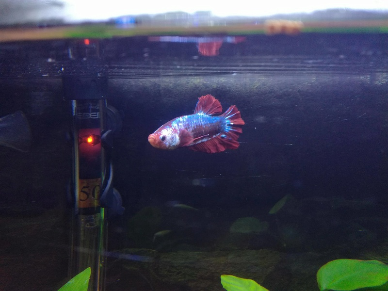 Betta Splendens - Bac 30 litres - Page 2 23376910