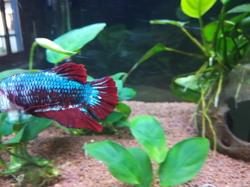 Betta Splendens - Bac 30 litres - Page 2 Img_2011