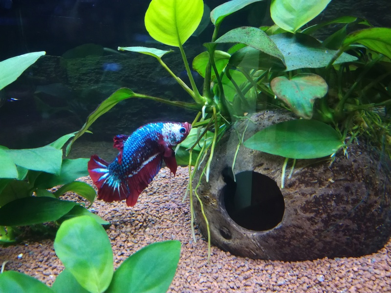 Betta Splendens - Bac 30 litres - Page 2 Img_2012
