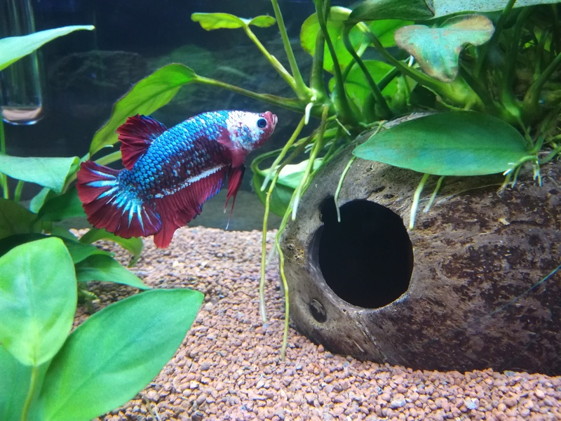 Betta Splendens - Bac 30 litres - Page 2 Img_2013