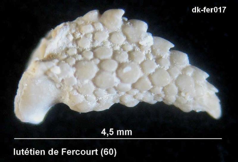 pinces de crustacés Fer1710