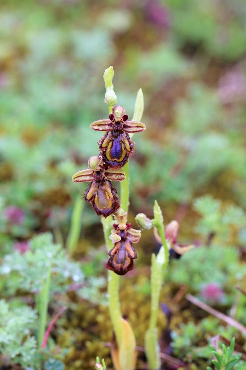Ophrys miroir histoire de speculer un peu...) Img_3510