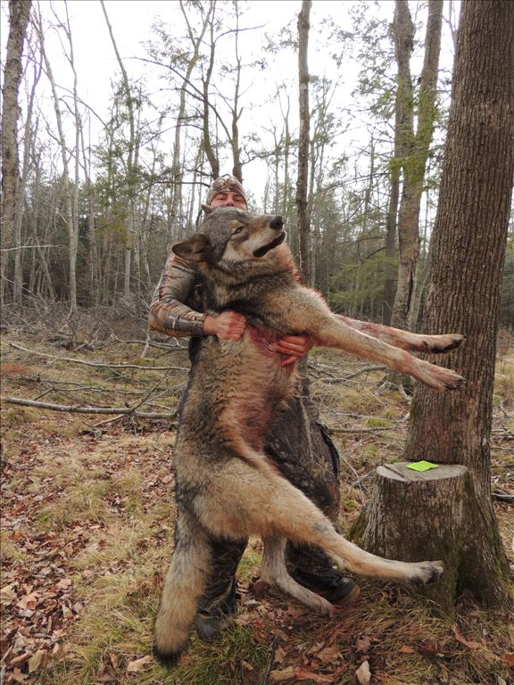 Any Coyote hunters on here?? Wolf110