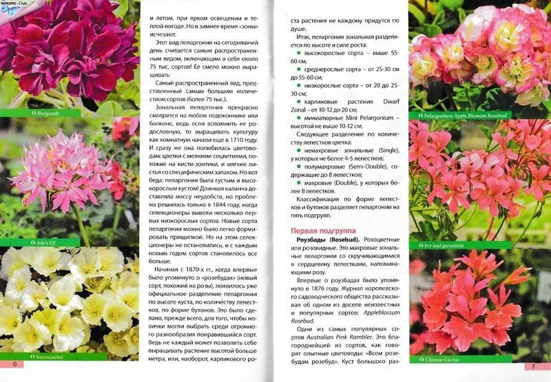 Пеларгония (Герань) - Страница 2 26d5b410