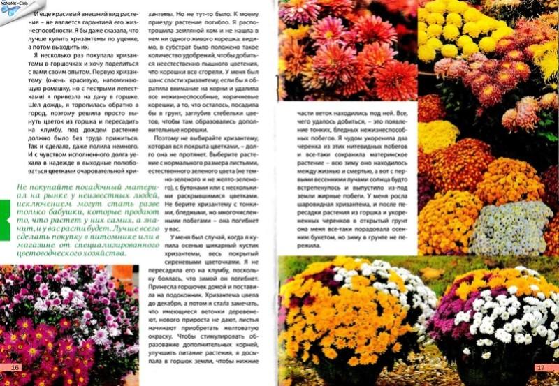 хризантема B811b410