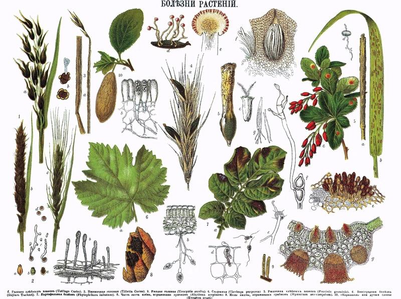 Болезни комнатных растений Ikldip10