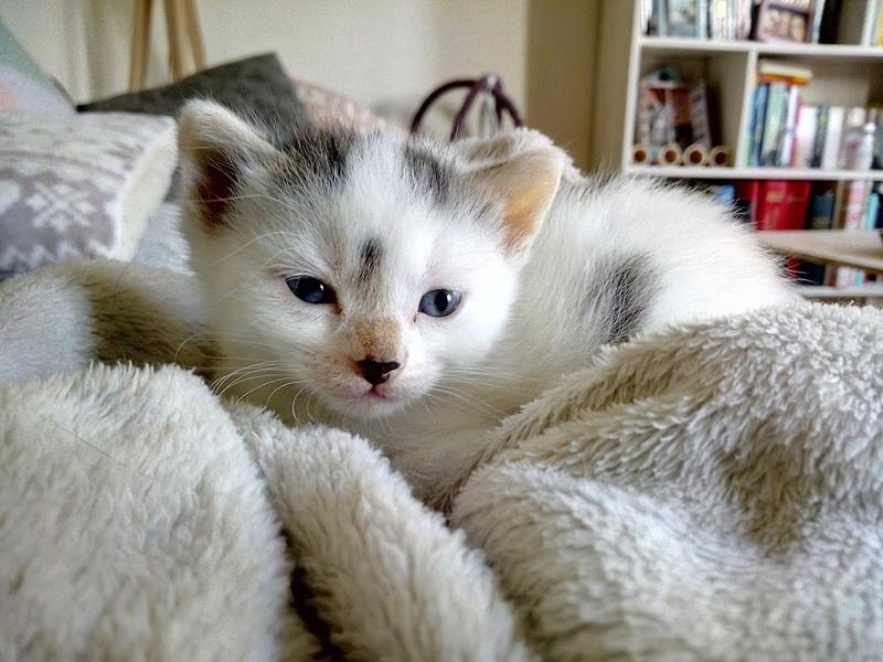 Cracotte femelle type européenne blanche et tigrée née le 4 avril 2017 - Page 2 Img_2053