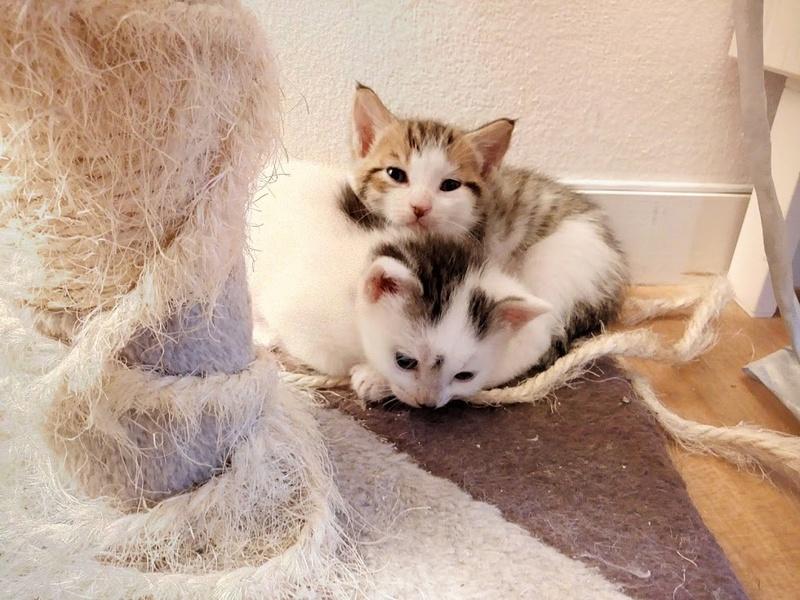 Cracotte femelle type européenne blanche et tigrée née le 4 avril 2017 - Page 2 Img_2056