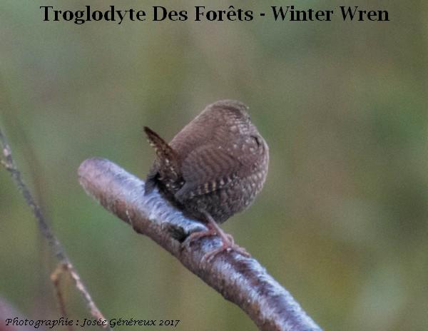 Troglodyte Des Forest  20102013