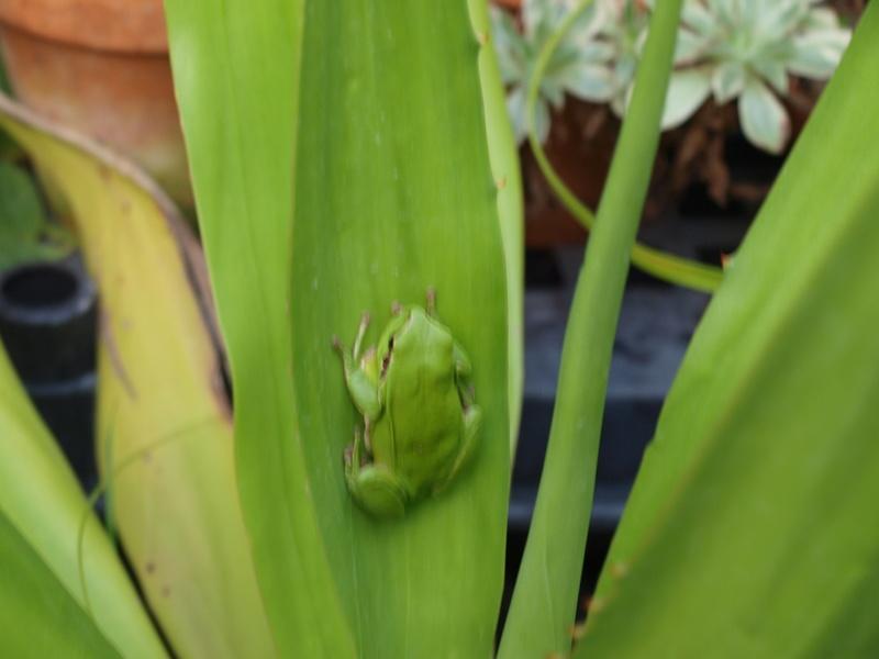 rainettes et autres grenouilles - Page 6 Pb238512