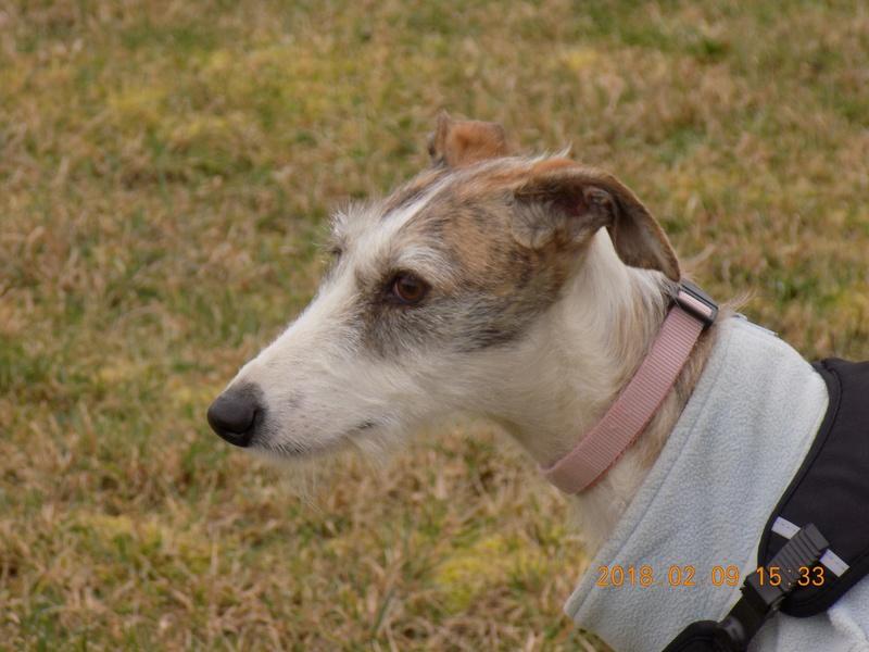 Aisha tendre et douce galga  Adoptée  - Page 2 27710010