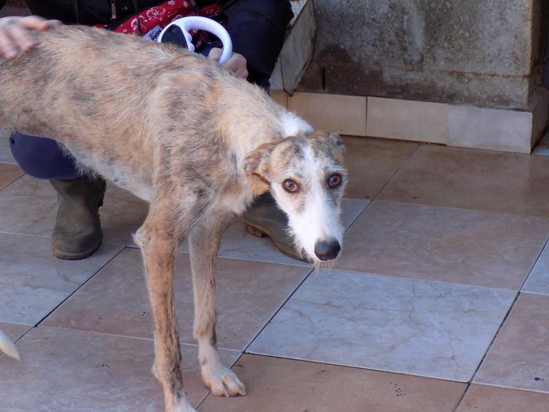 Aisha tendre et douce galga  Adoptée  Dscn5511