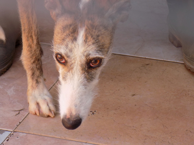 Aisha tendre et douce galga  Adoptée  Dscn5512