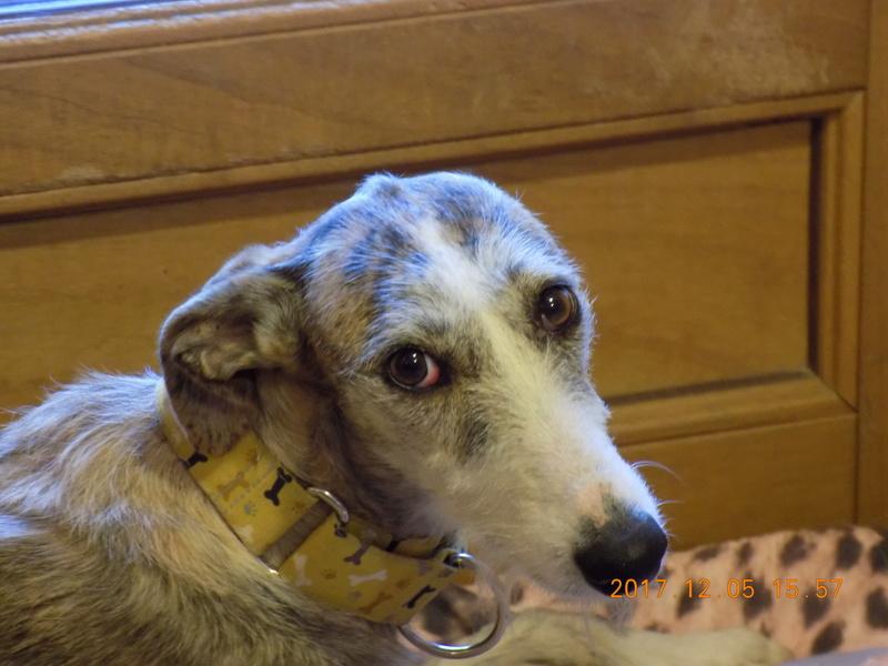 Aisha tendre et douce galga  Adoptée  Dscn5910