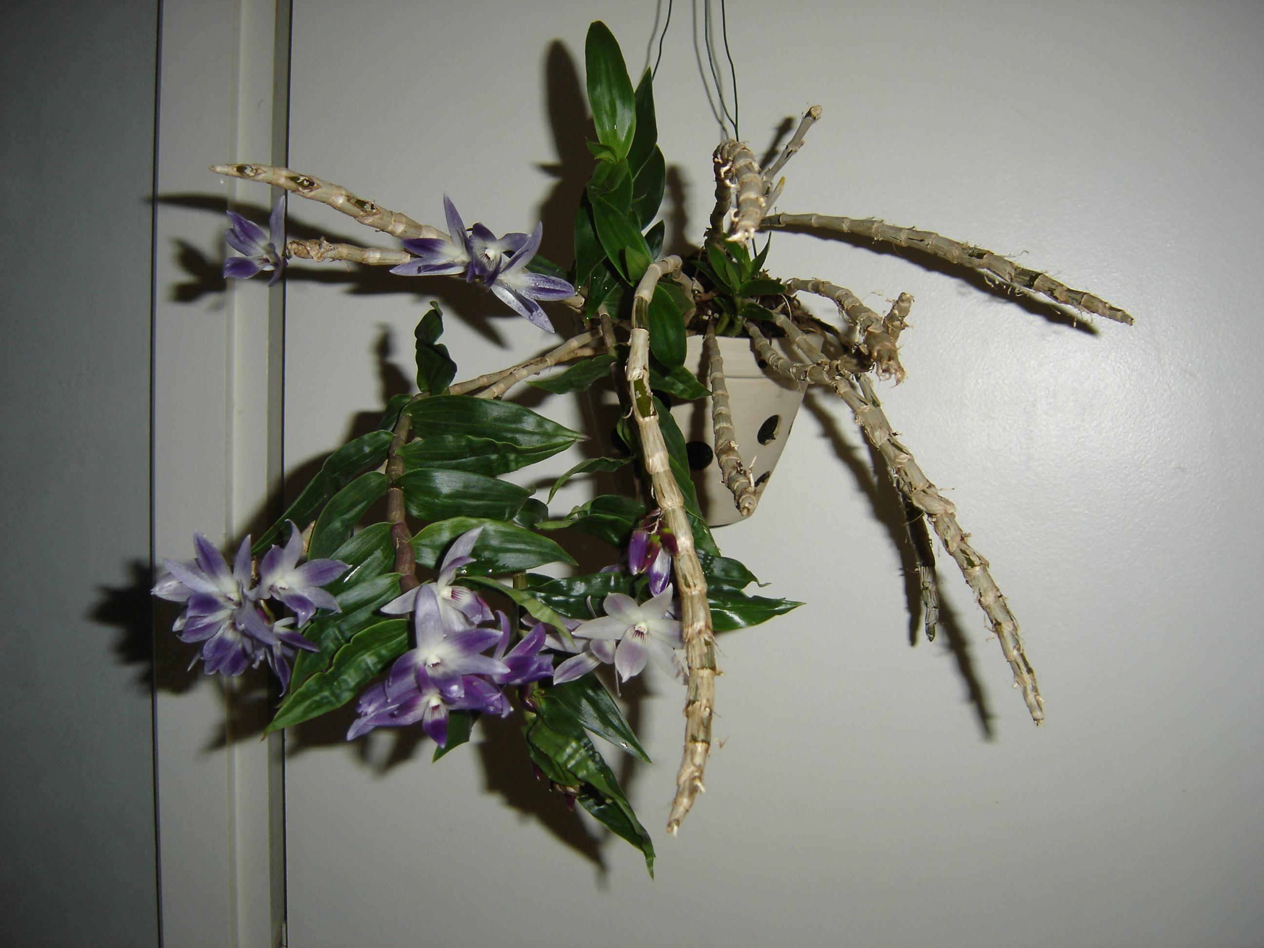 Dendrobium victoria reginae Dendro11