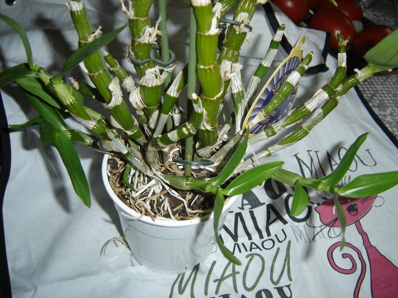 Dendrobium 'comet king' en fibres coco Oy_la_10