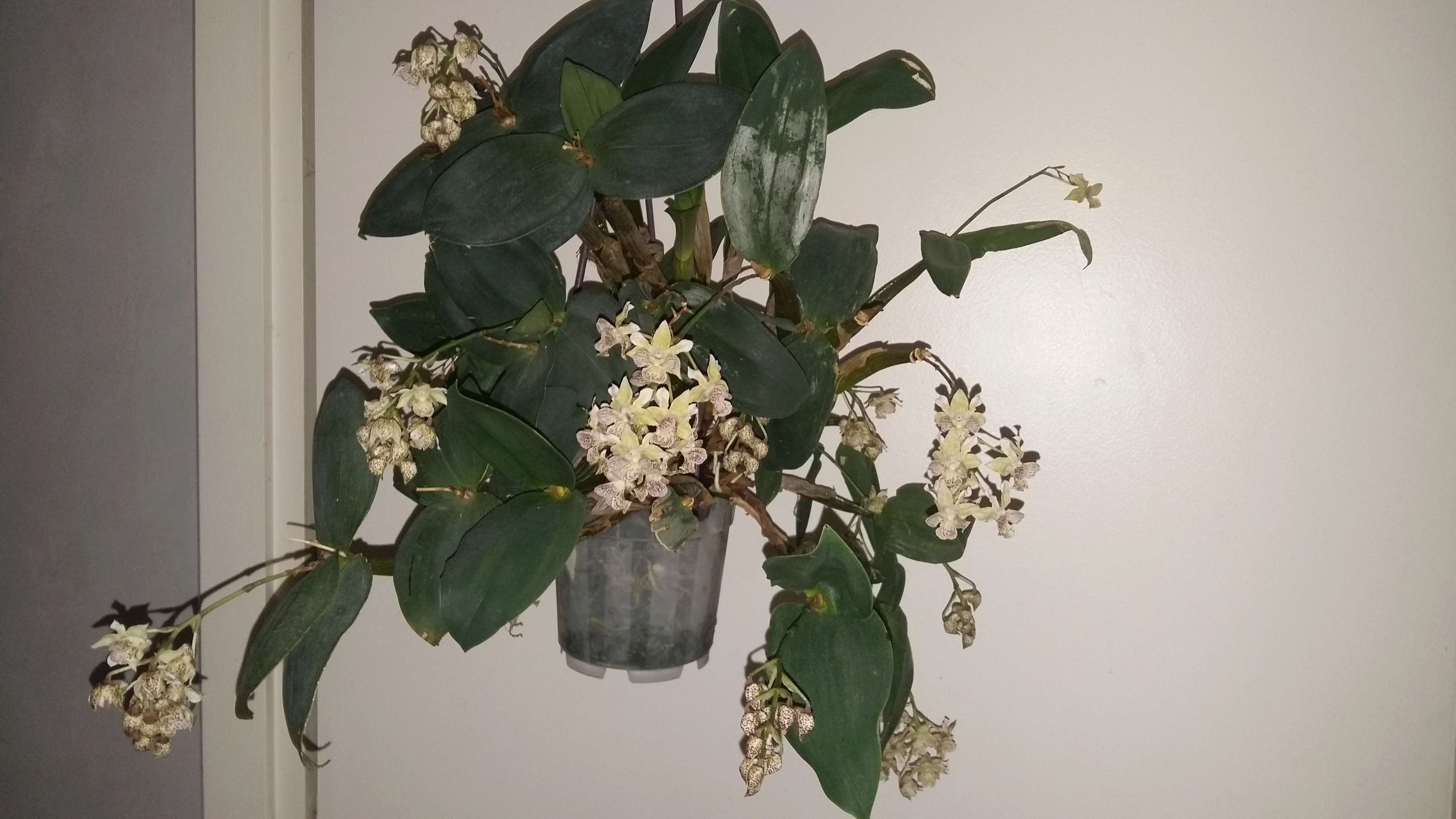 """Dendrobium aberrans X polysema """"lutin blanc"""" Photos10"""