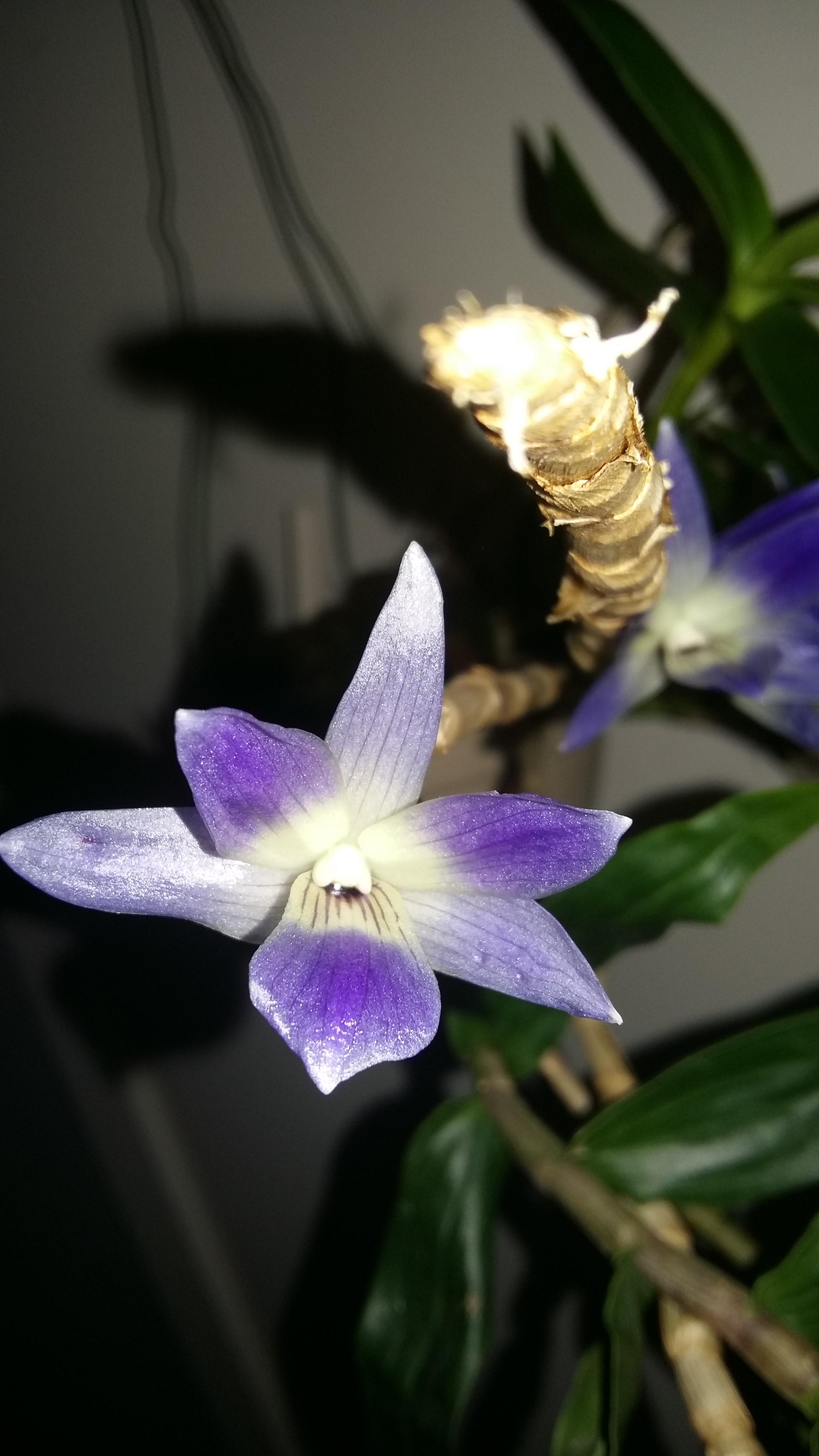 Dendrobium victoria reginae Photos12