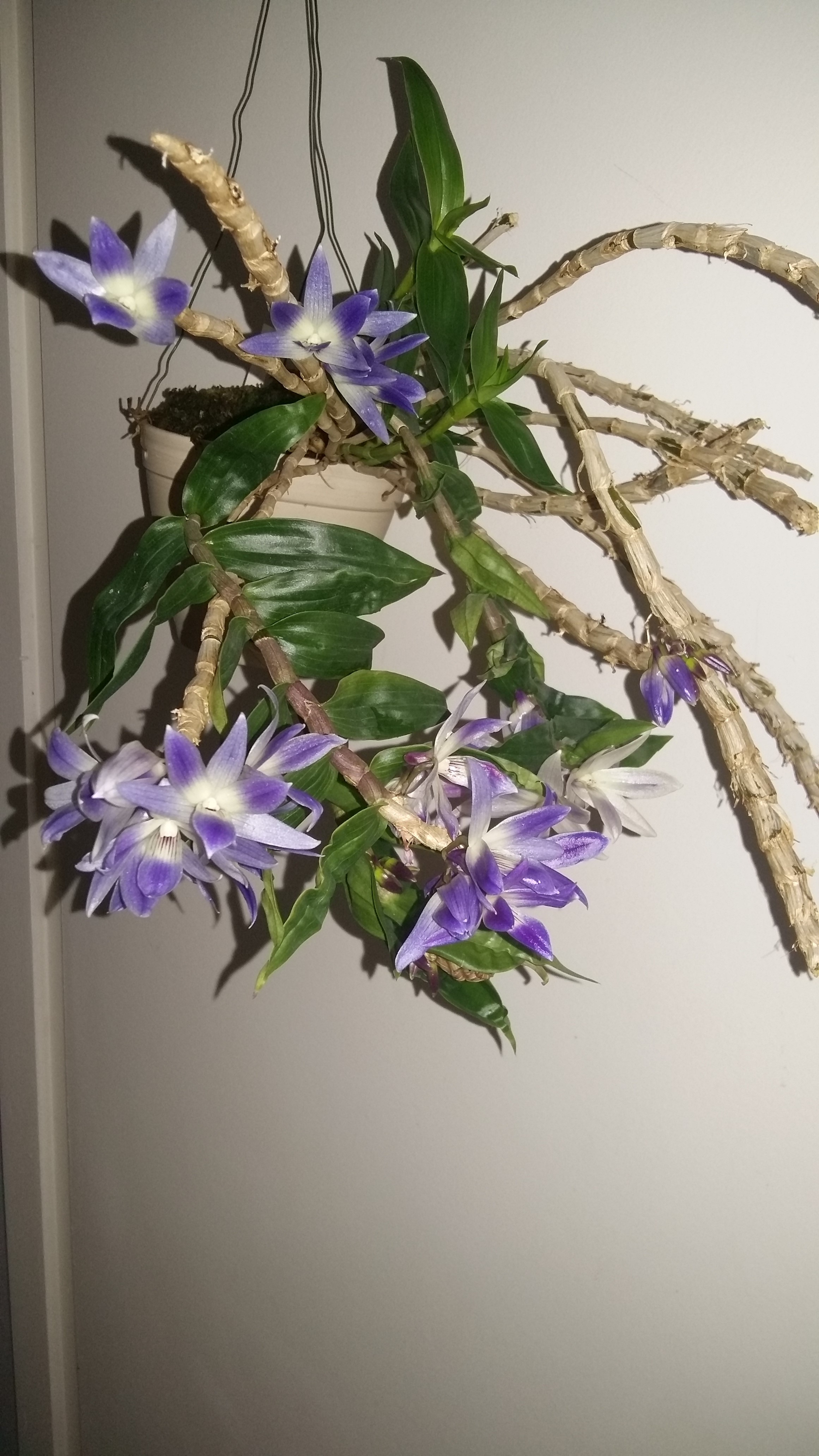 Dendrobium victoria reginae Photos14