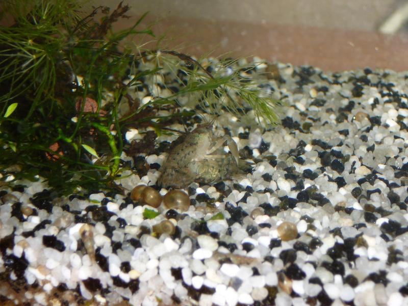 reproduction Cambarellus shufeldtii P1080410