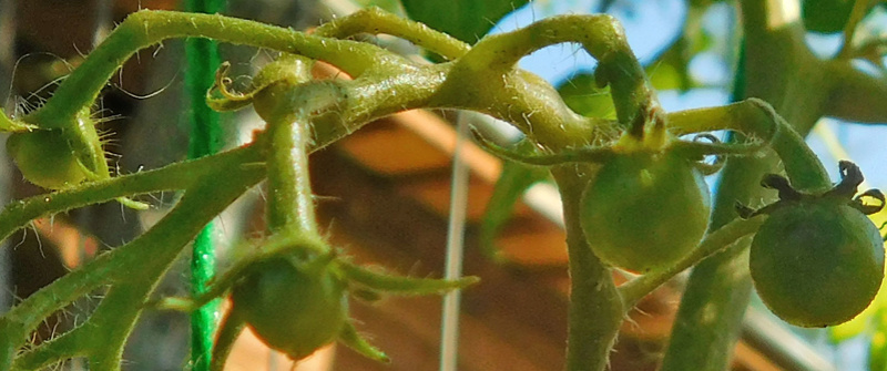 Tomato Tuesday - 2018 & 2019 1st-to10
