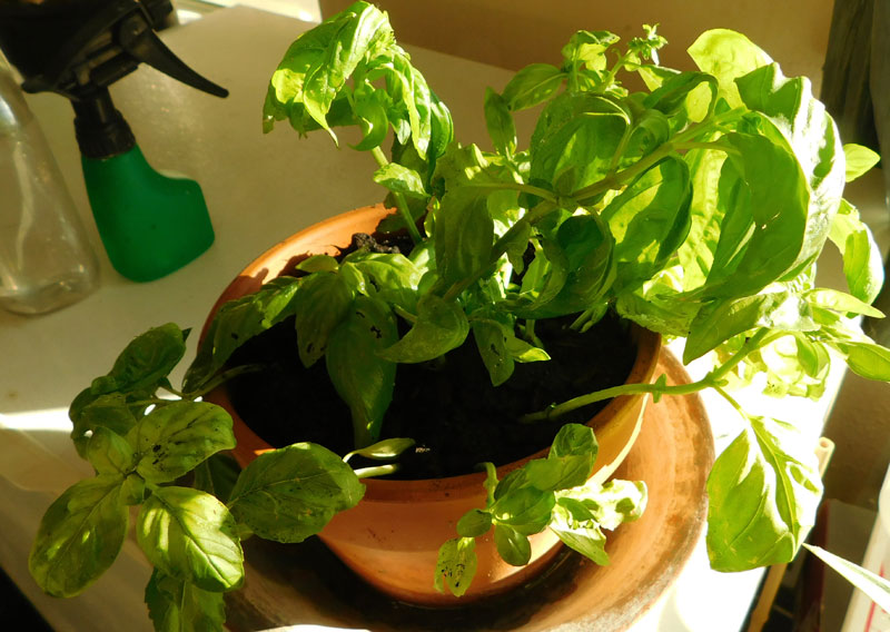 Indoor Container Garden - City Living - Page 2 Basil10