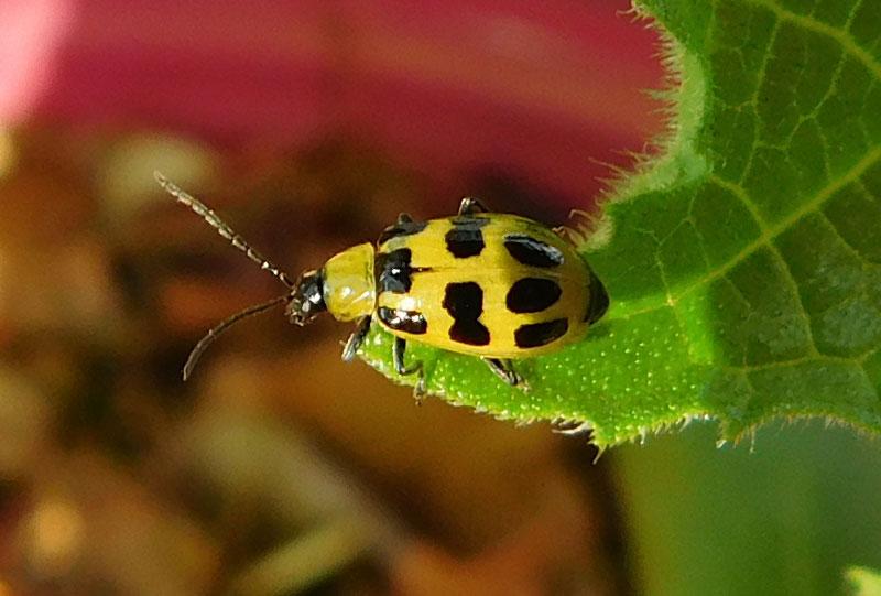 Helpful Beetles Bug10