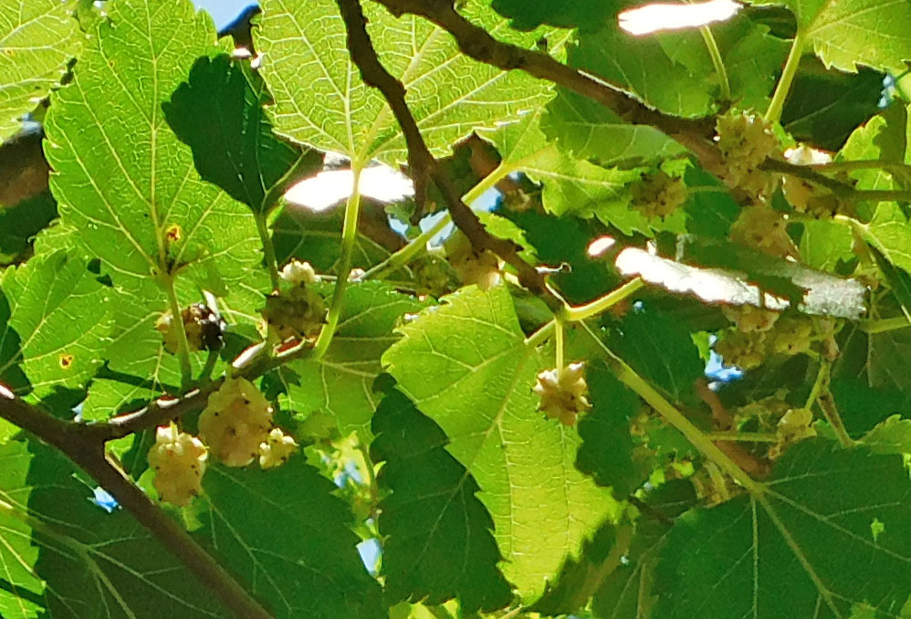 White Mulberry Tree??? Mulber11