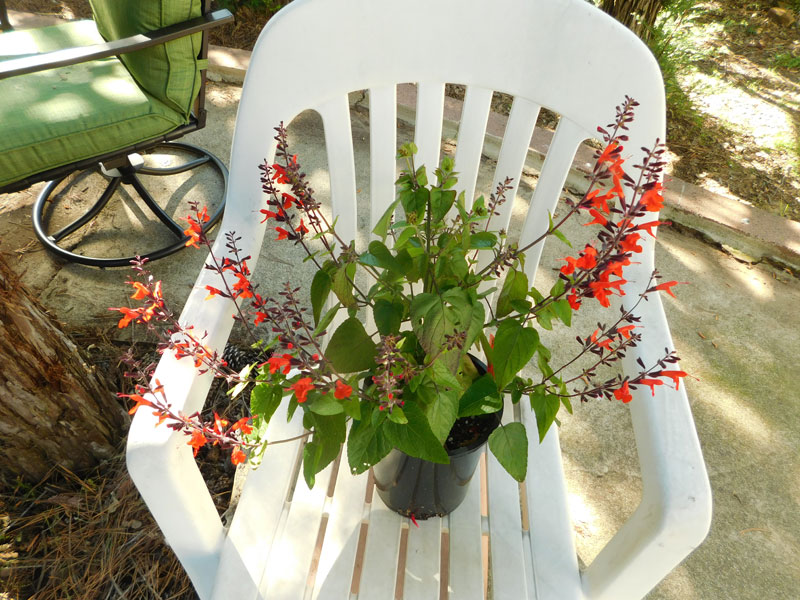 Salvia Salvia10