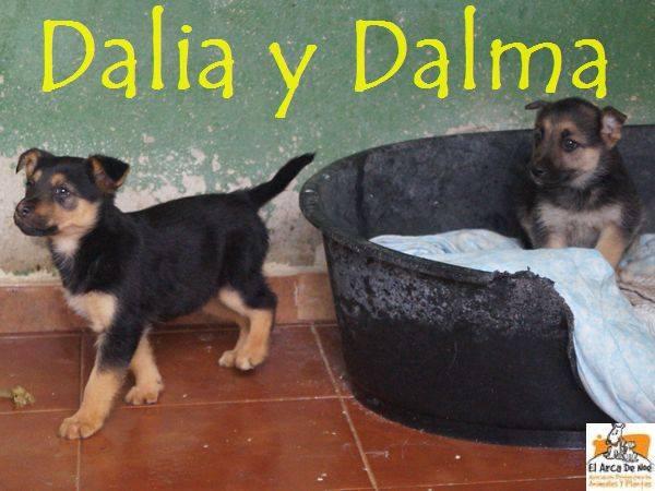 DALIA (devenue NITINE - petite de DATY) - CROISEE BERGER - ES (Sole) 25446012