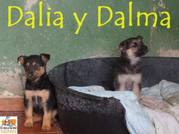 DALIA (devenue NITINE - petite de DATY) - CROISEE BERGER - ES (Sole) 25446413
