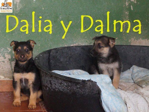 DALIA (devenue NITINE - petite de DATY) - CROISEE BERGER - ES (Sole) 25591612