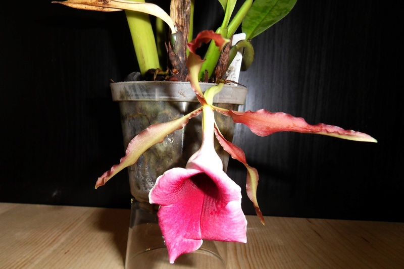 Trichopilia marginata 124