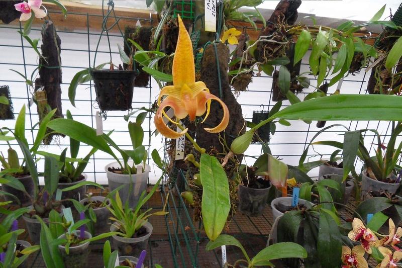 Bulbophyllum lobbii 125