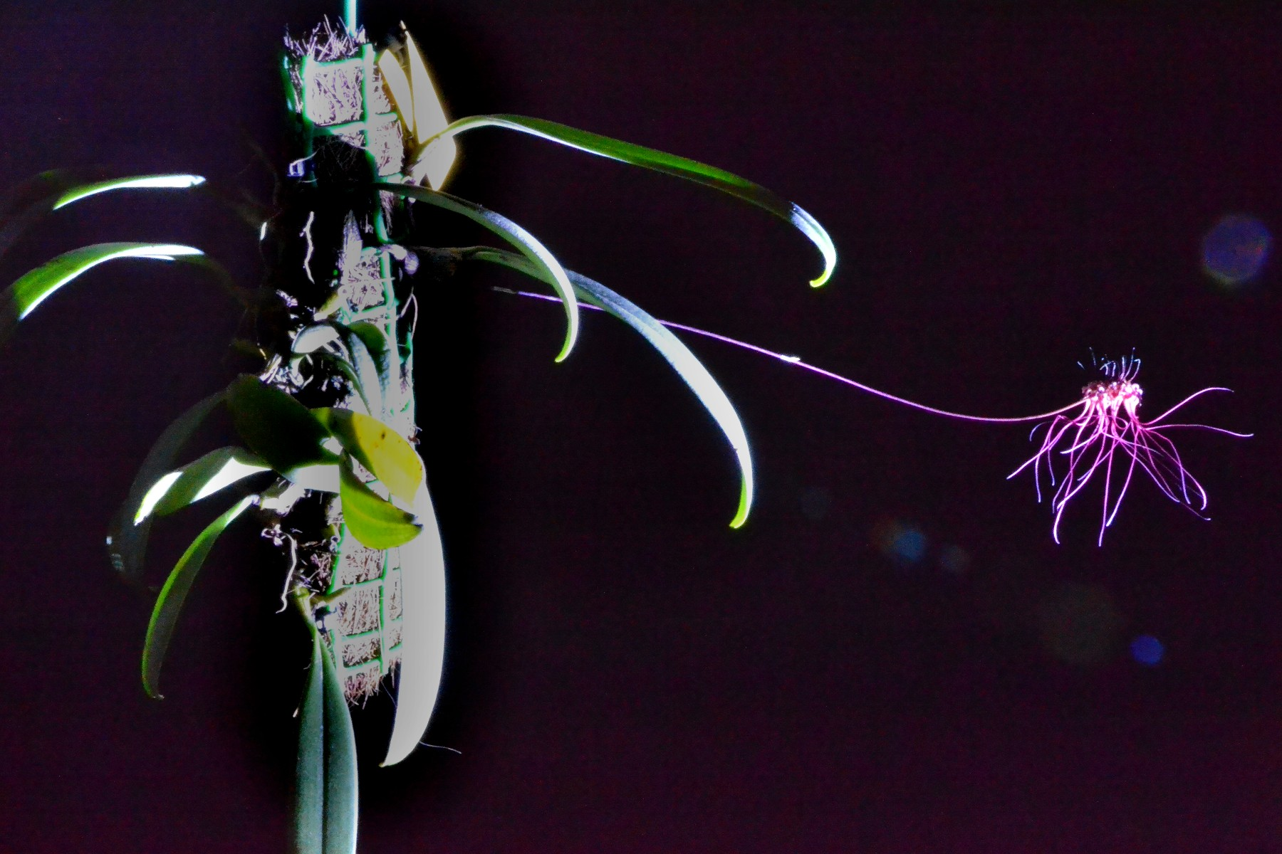 Bulbophullum gracillimum 135