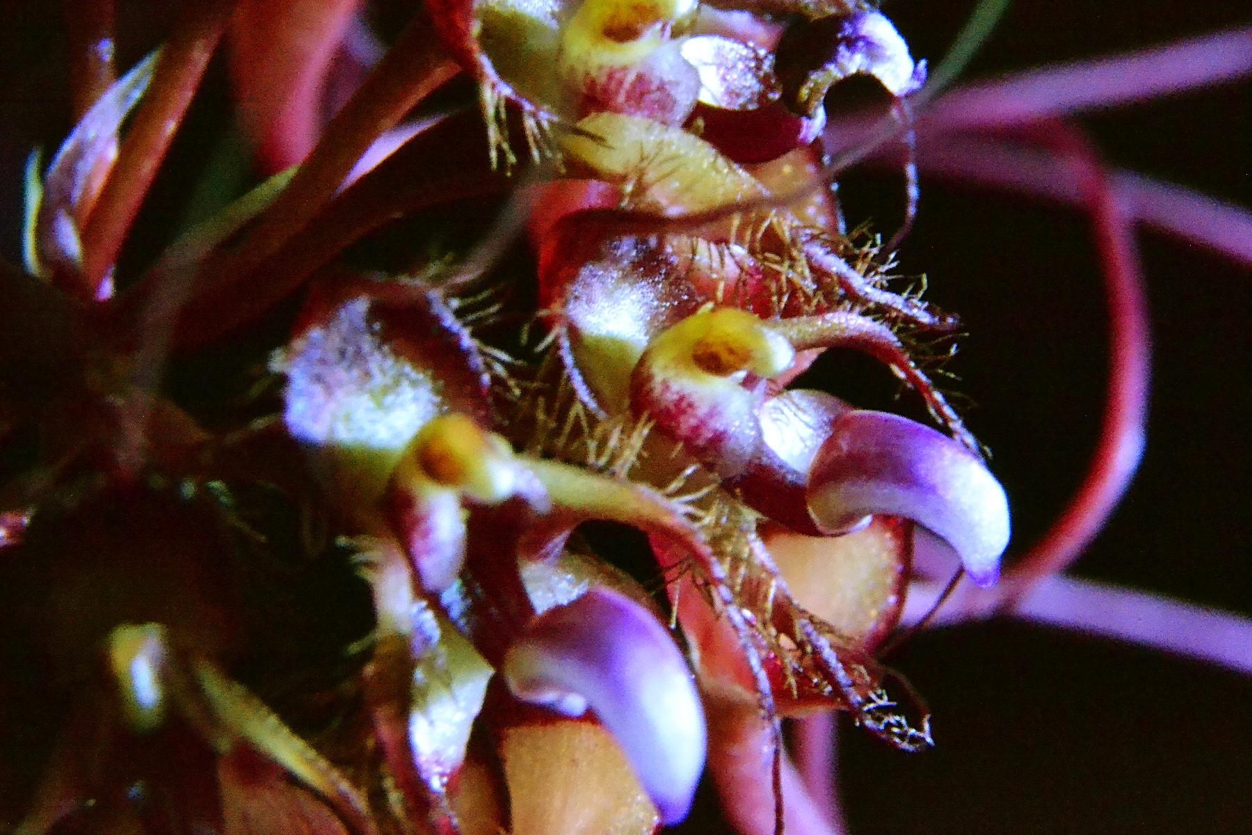 Bulbophullum gracillimum 313