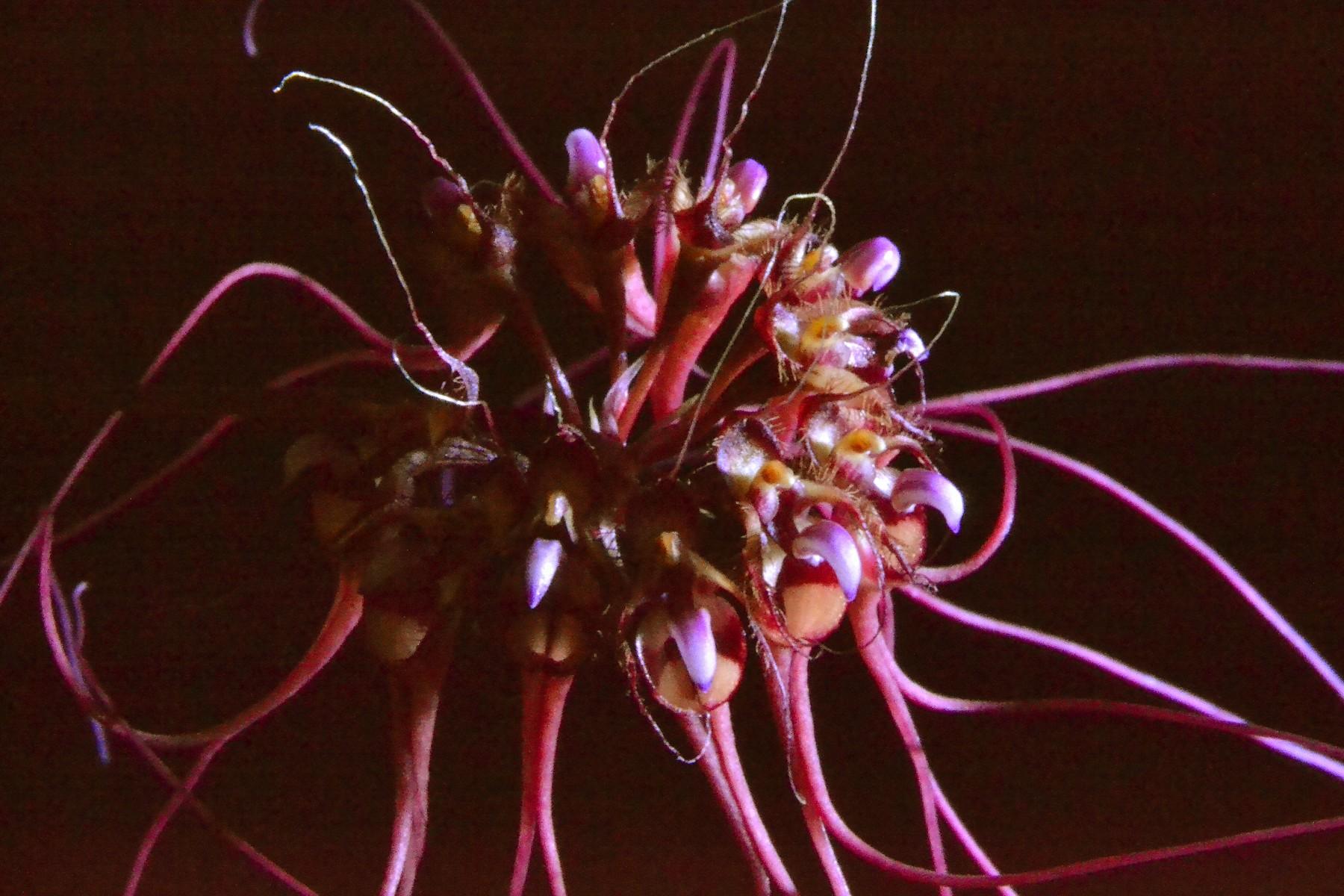 Bulbophullum gracillimum 413