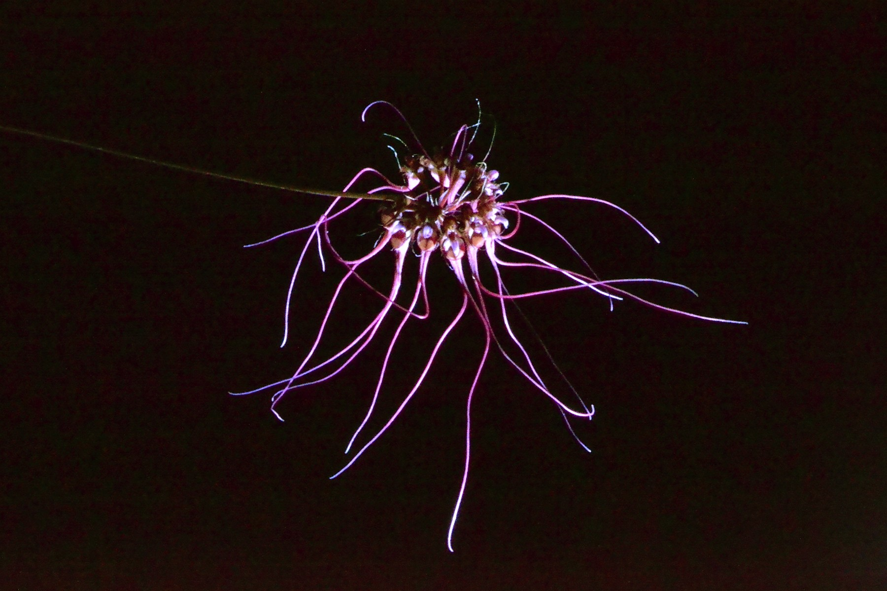 Bulbophullum gracillimum 510