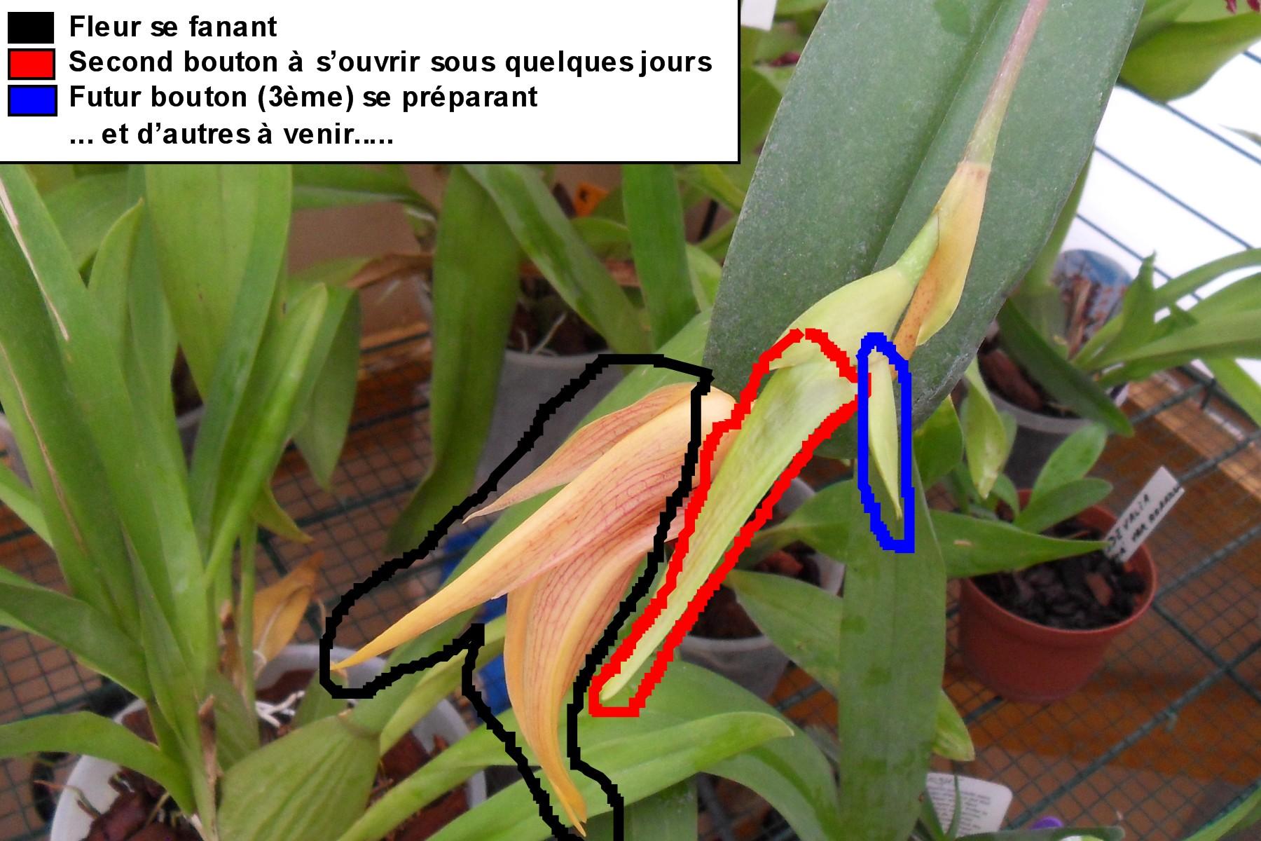 Bulbophyllum Wilbur Chang B11